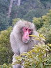 Японская дикая обезьяна в лесу на горе Мисен, остров Миядзима
