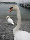 Цюрихские лебеди