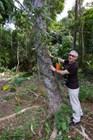 Каучуковое дерево с насечками