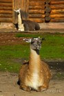 Лама из калининградского зоопарка