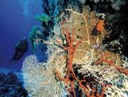 Кораллы в Красном море, Нувейба