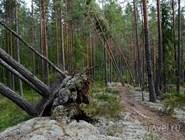 Поваленные ураганом деревья