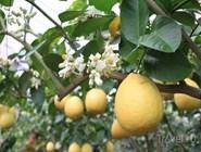 Юбилейные лимоны