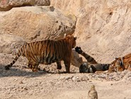 Храм для тигров - играющие тигры ©Kitya Karlson