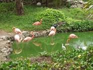 Фламинго на Кайо-Гильермо