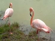 Фламинго на Кайо-Коко