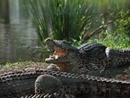 Даже флегматичного крокодила дразнить не стоит