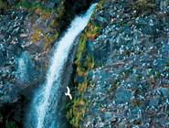 Как всякая северная приокеаническая земля, Аляска славится своими морскими птицами