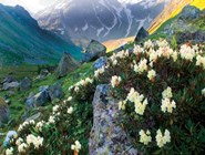 вечнозеленые кусты кавказского рододендрона
