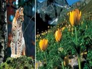 рысь и альпийские луга