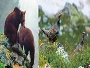 кавказские бурые медведи и кавказские улары