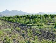 Виноградники в Коктебеле