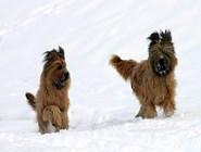 Итальянские собачки