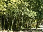 Бамбуковая роща в Пицунде