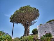 Легендарное драконовое дерево