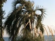 пальмы на побережье Абхазии
