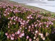 Камчатские рододендроны