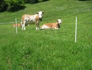 Швейцарские коровы