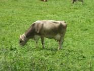 Швейцарская корова