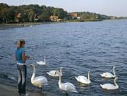 Лебеди на набережной Ниды угощаются с рук