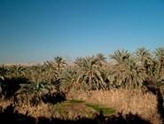 Вид на пальмовый сад в Фарафре