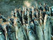 Много вяленой рыбы