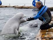 Белухи в дельфинарии