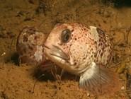 Рыба маскируется на дне Белого моря