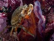 Краб и водоросли в Белом море