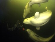 Дайвинг с белухами, Белое море