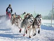 Гонки на собачьих упряжках в Алтайском крае