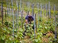 Виноградники Лаво