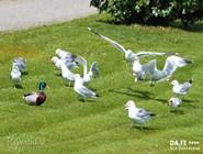 Чайки на набережной Хельсинки