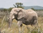 Старый слон в парке Этоша
