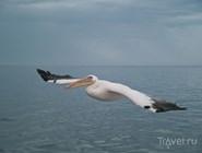 Пеликан в заливе Уолфиш-Бей