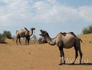 Пасутся верблюды
