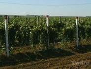 Виноградники на Таманском полуострове