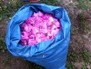 Урожай роз