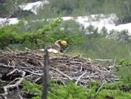 Белоплечий орлан равнодушен к новостям