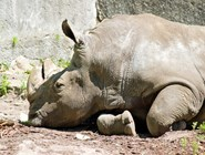 Редкий белый носорог