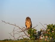 Болотная сова в Воронежском биосферном заповеднике