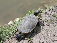 Черепаха на берегу пруда в парке Фрунзе