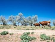 На некоторых диких пляжах вполне можно увидеть коров - все как в Индии