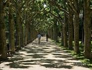 Аллея платанов в парке Ницца