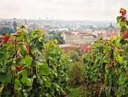 Виноградник. Замок Троя