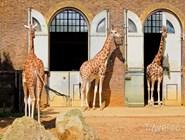 Жирафы в Лондонском зоопарке