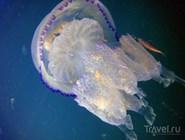 Великолепная черноморская медуза