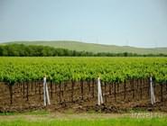 Виноградники у поселка Сенной