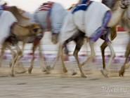 Верблюжьи бега на Nad Al Sheba Camel Racetrack