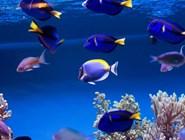 Тропические рыбки - обитатели коралловых рифов